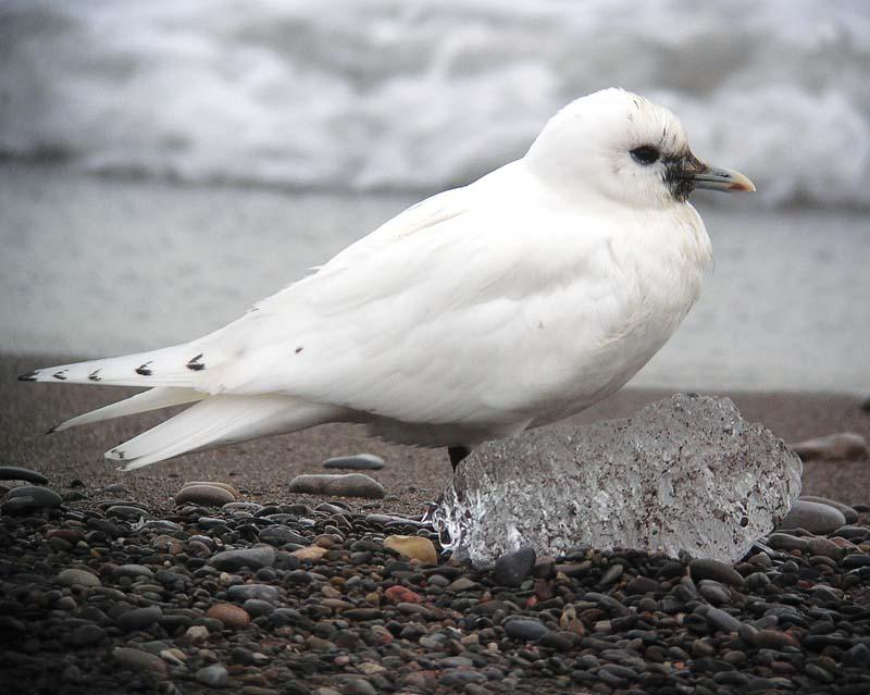 Ivory Gull PHOTO BY SEABAMIRUM